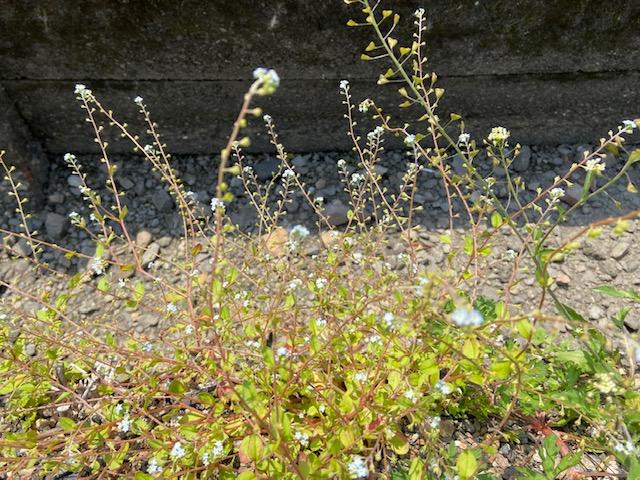 散歩していて見つけた、道端に咲くキュウリグサ。