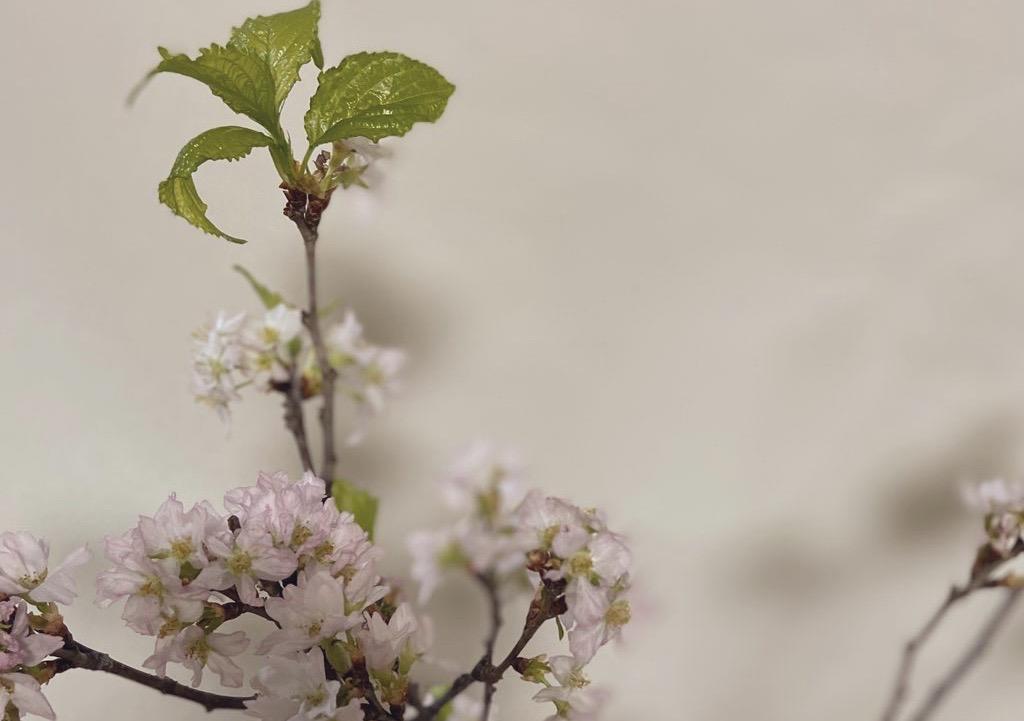 家で花見をするため買ってきた桜の枝に、新芽が生えてきた